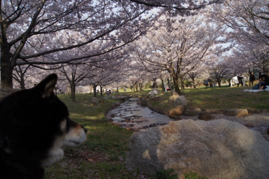 舞洲の桜と夕陽