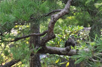 松の枝にとまって羽繕い中