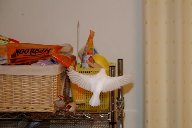 ハクの飛翔写真