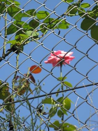 IMG_2960日向のバラ