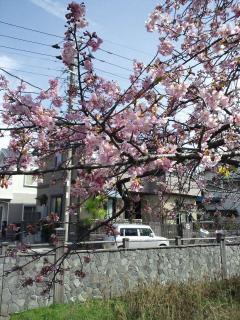 さくら_convert_20110307091750