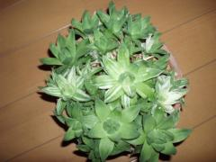 京の花錦1