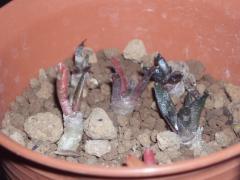 大疣亀甲牡丹錦2