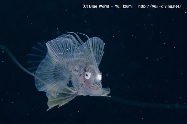 キアンコウの幼魚