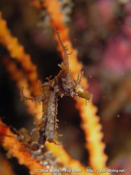 ハナタツの幼魚