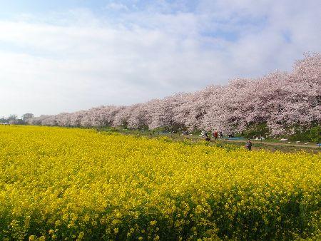 菜の花と桜