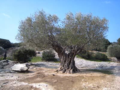仏のオリーブの大木