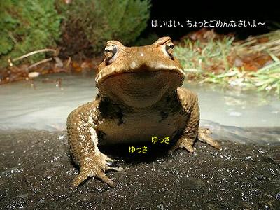 ヒキガエルです