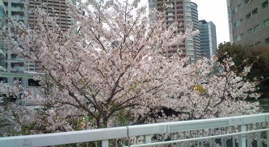 桜満開(山手線)
