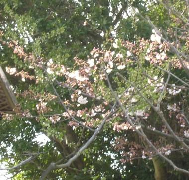 桜 09.3