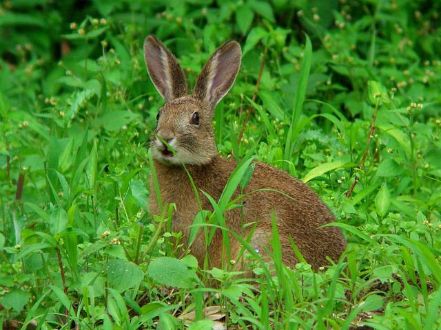 ノウサギ:クリックして大きな画像でご覧下さい