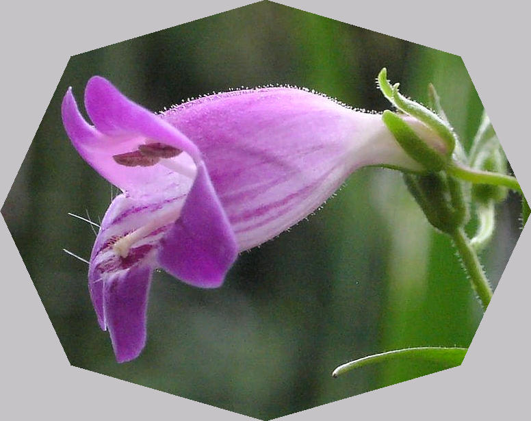 penstemon641.jpg