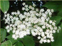 elderflower.jpg