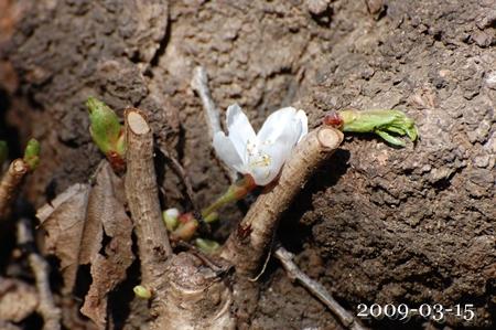 ど根性桜2