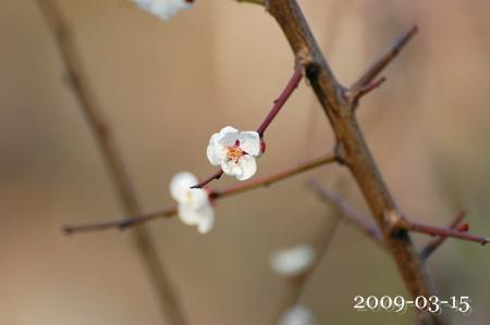 根川緑道の梅