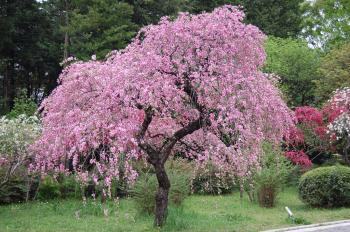 枝垂れ八重咲きのハナモモ