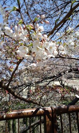 桜アップS