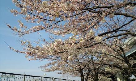 都市農桜S