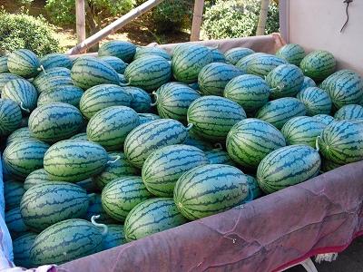 収穫した小玉西瓜