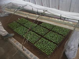 西瓜の苗(3000本)