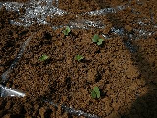 種蒔き6日後のホワイトスティック