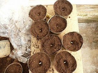 ズッキーニとミニキュウリの種蒔き
