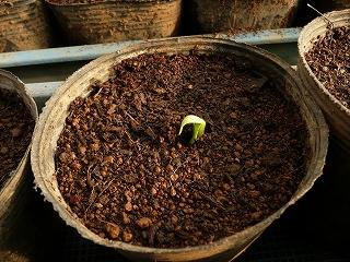 種蒔き6日後のミニキュウリ(ラリーノ)