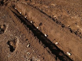 インカのひとみを定植