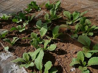 種蒔き26日後のホワイトスティック