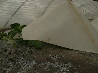定植20日後の西瓜苗