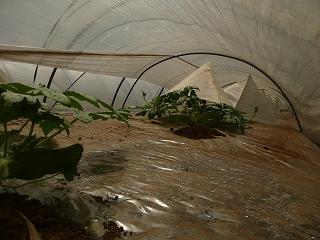 定植21日後の西瓜苗