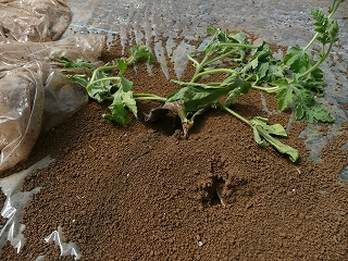 蟻に襲われた苗