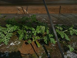 成長した西瓜の木