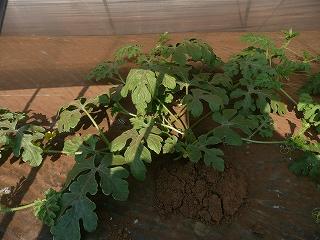 成長した西瓜の木・2