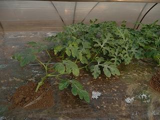 定植から28日後の西瓜