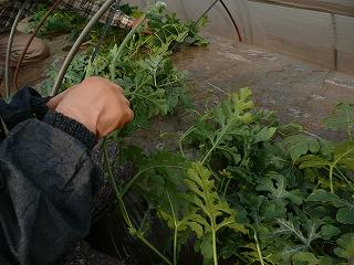 つるの脇芽と一番果を除去