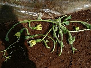 脇芽と雌花を除去