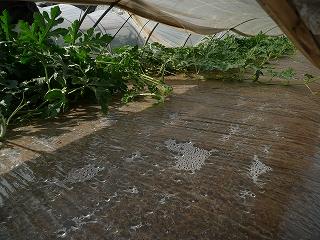 つる引き後の西瓜