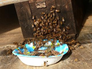 設置した翌日の蜂