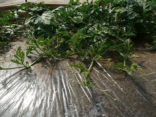 つる揃え前の西瓜の木