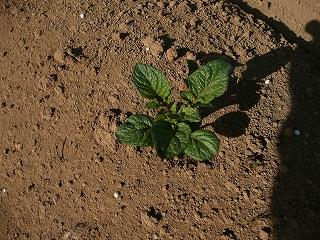 種蒔き38日後のインカのひとみ・ズーム