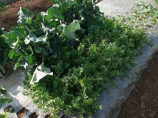 種蒔き56日後のルッコラ