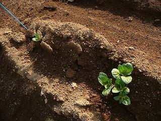 種蒔き45日後のインカのひとみ・ズーム