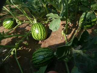 摘果前の西瓜