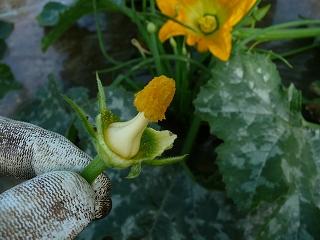 花びらを除去した雄花