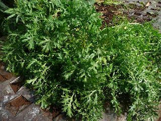 種蒔き71日後のルッコラ