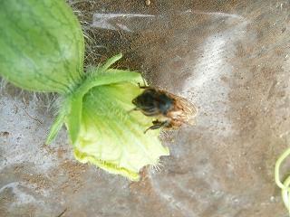 働き蜂(メスの蜂)