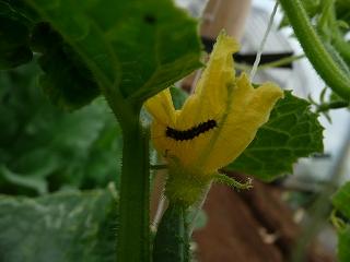 ミニキュウリの花についた毛虫