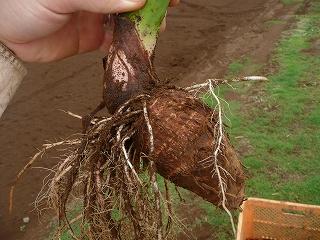成長した種芋・ズーム