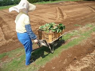 種芋を運ぶ